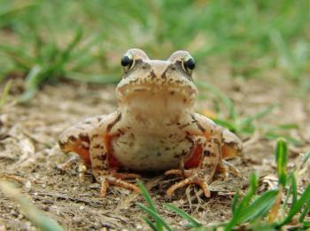 Okoliczna fauna - żaba