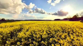 Rzepakowe pola - Sołectwo Chwiły