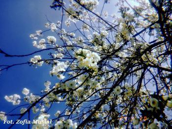 Wiosenne drzewa - Gmina Rudniki