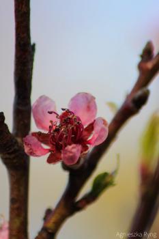 Roślinność w Gminie Rudniki - Kwiat brzoskwini