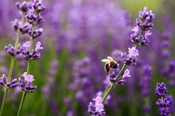Lubiana przez pszczoły Lawenda wąskolistna