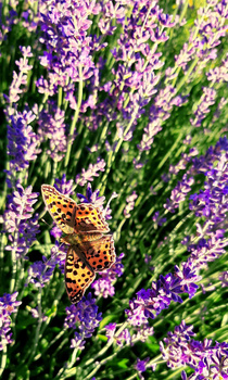 Dostojka latonia - motyl z rodziny rusałkowatych