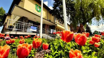 Wiosenne tulipany przy Urzędzie Gminy Rudniki